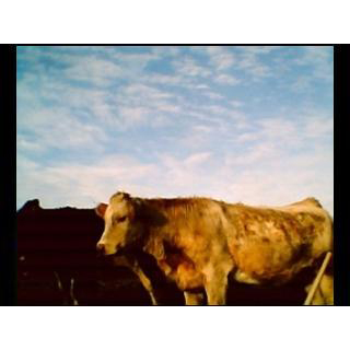 Vaches en Basse-Normandie, Mini Digital Camera [Bluetech], 2007